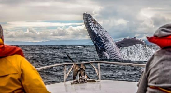 humpback canada breaching
