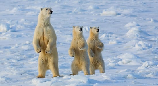 canada winter manitoba three polar bears standing alert ice