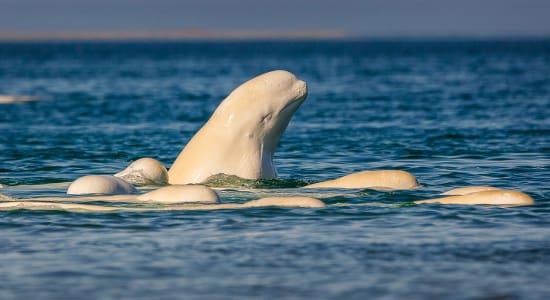 canada manitoba wildlife beluga whale head pod