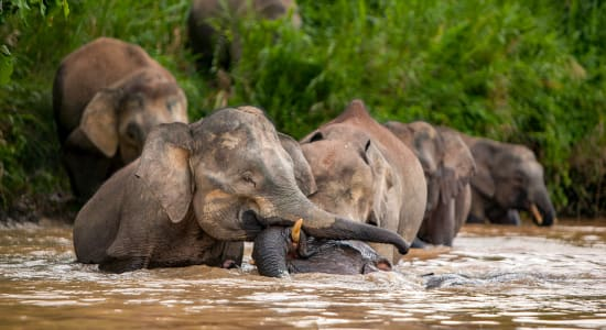 borneo bornean pygmy elephants bathing