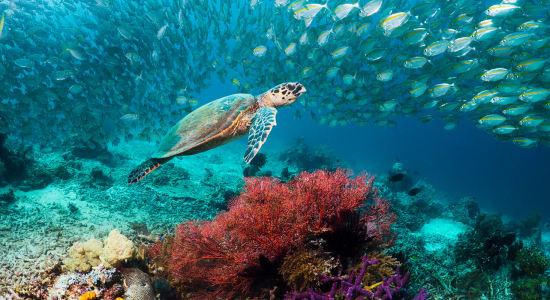 underwater sea turtle reef fish pacific wakatobi