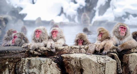 japanese macaques winter japan