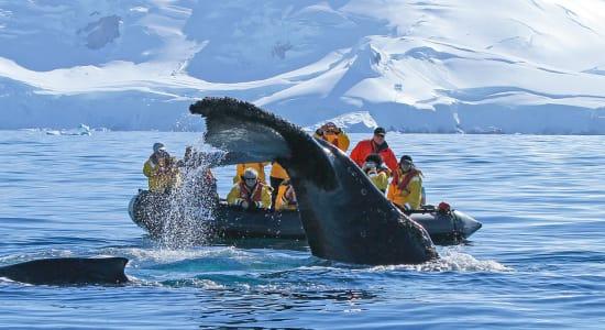 wildlife whale humpback flukes