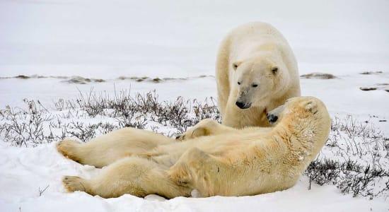 norway svalbard islands spitsbergen polar bears wildlife