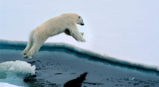 polar bear leaping ice field