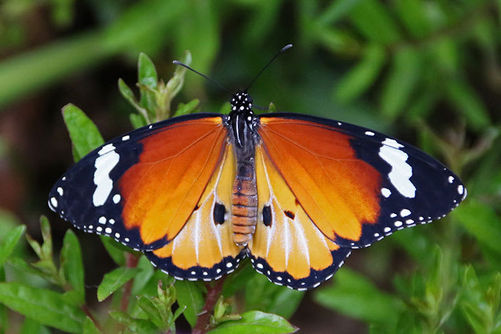 Bright orange, black, and white endemic butterfly against greenery
