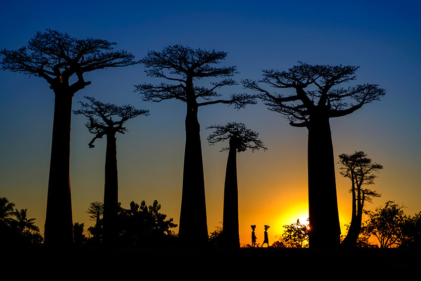 Malagasy locals walking with baskets on head at sunset next to baobab trees