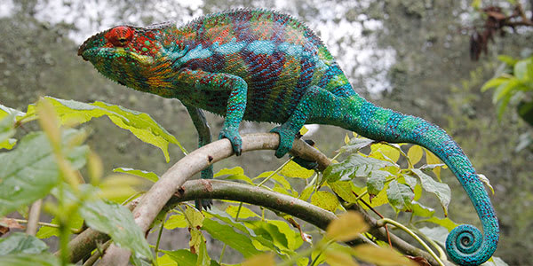 Panther chameleon on branch in Madagascar shows its colors: red, orange, yellow, green, blue, purple