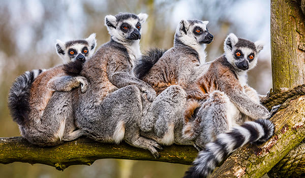 Four wild ring-tailed lemurs sitting in Madagascar