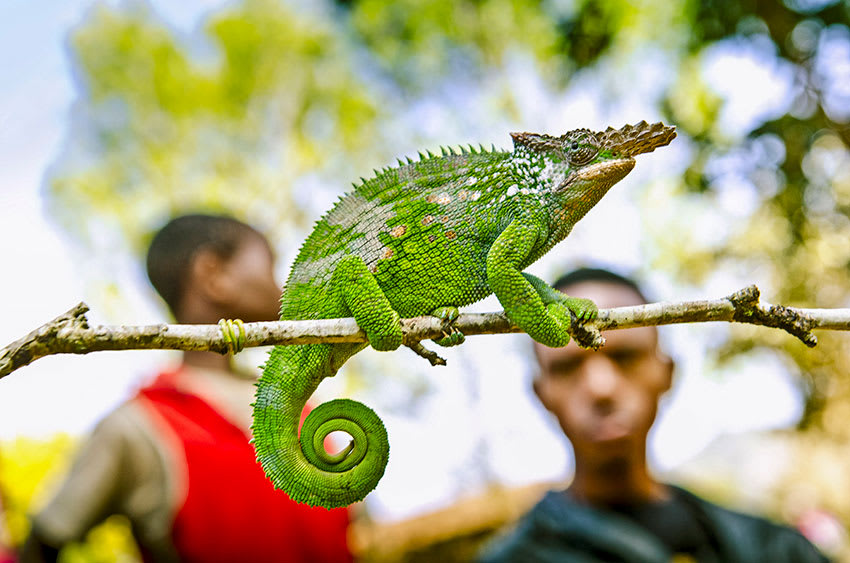 Green chameleon sits on branch in Madagascar with boys in background