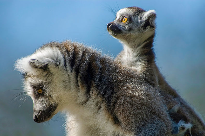 Mother ring-tailed lemur with bright-eyed baby in Madagascar