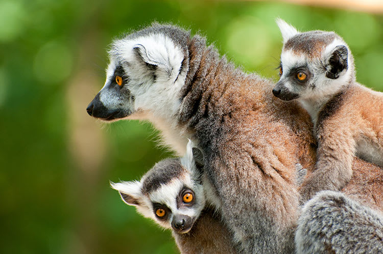 Ring-tailed lemur family up close in Madagascar