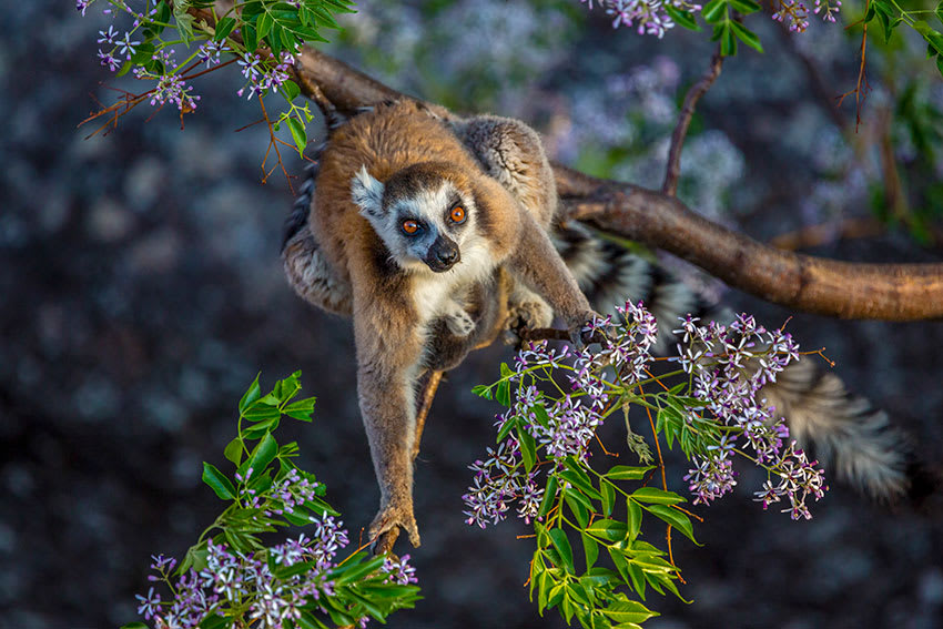 Lemur sitting on tree branch with flowers looking up at camera