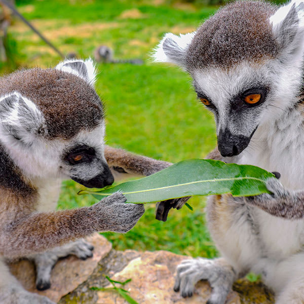 Lemurs looking at a leaf