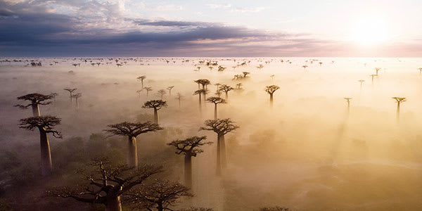 Baobab trees poke through clouds in Madagascar forest