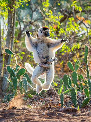 Dancing sifaka lemur with two babies in Madagascar