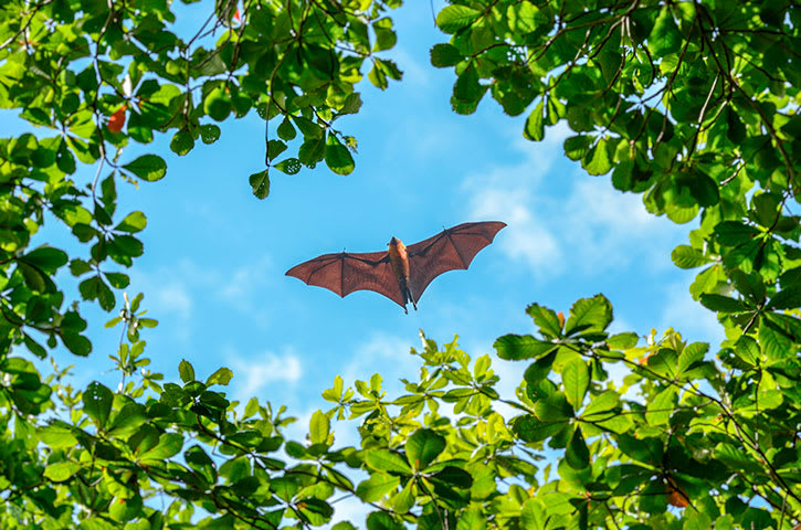 A flying fox, also called a fruit bat, in Madagascar