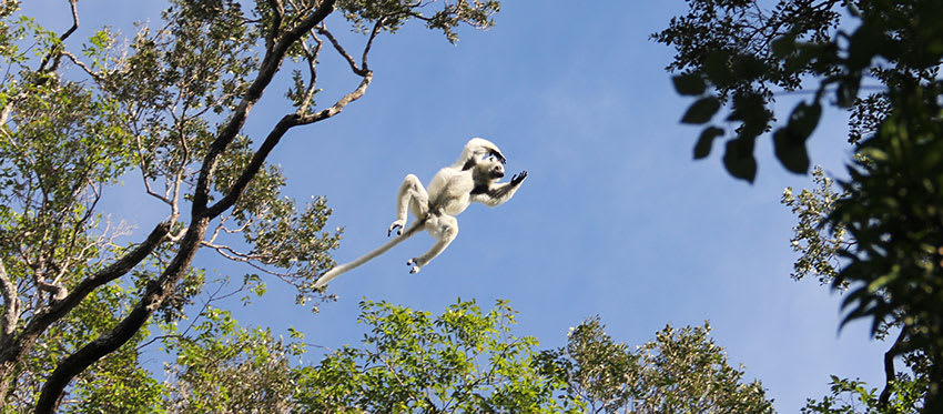 White sifaka lemur leaps through the treetops at Zombitse-Vohibasia National Park