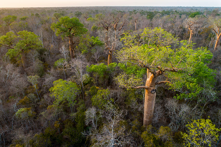 Baobab trees rise above Kirindy Forest