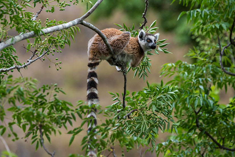 Ring-tailed lemur in green tree at Anja Reserve in Madagascar