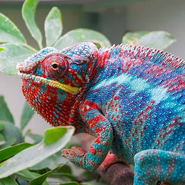 Red, blue, and yellow chameleon in bush