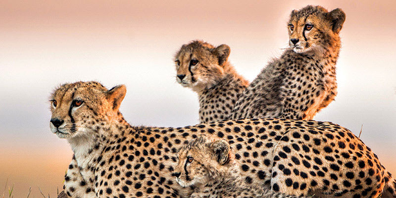 Four cheetahs sitting on grassy hill in Africa