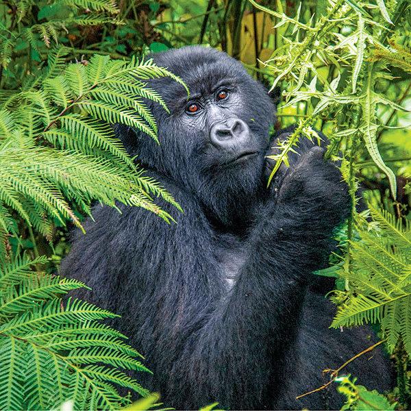 Gorilla sitting in bushes in Rwanda