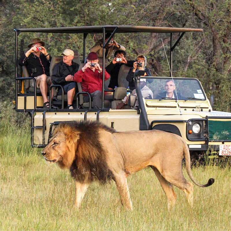 Lion in front of a safari vehcle with travelers