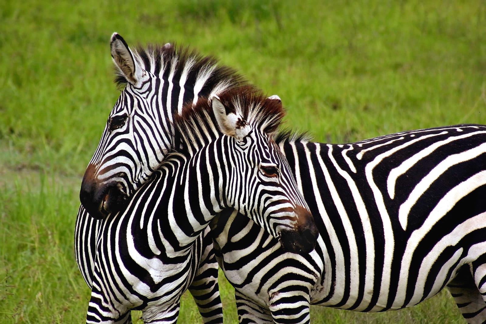 Zebra resting neck on another zebra in Africa