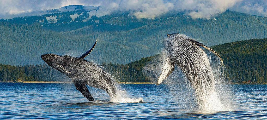 Alaska humpback whales jump