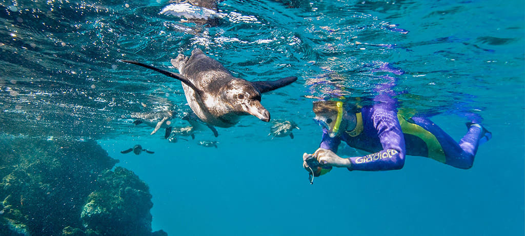 Galapagos snorkeler swimming with penguin