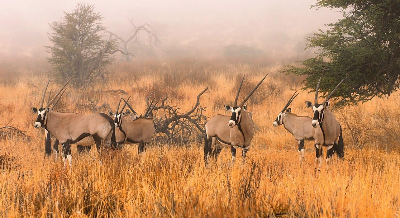 3 slide gemsbok kalahari desert pano