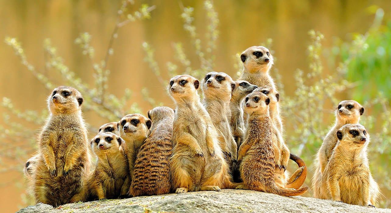 7 slide meerkats pano