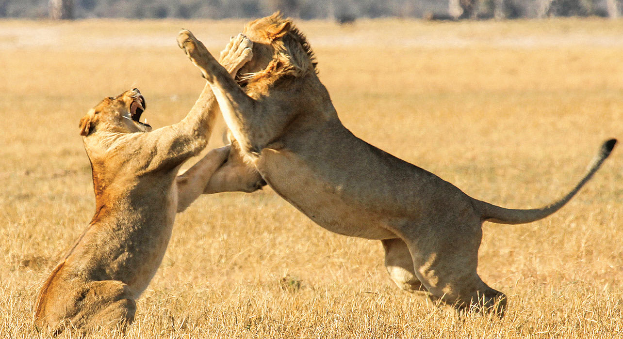 young lion play fighting africa safari