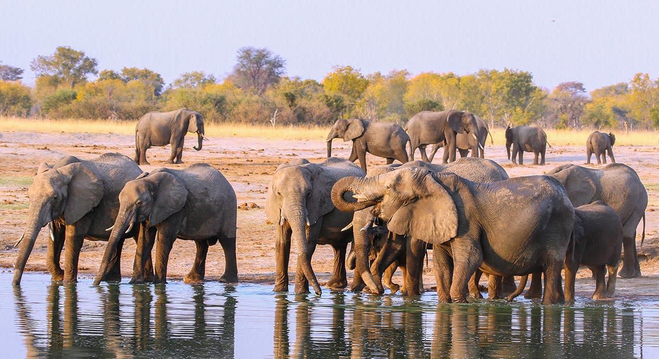 elephant herd botswana africa safari
