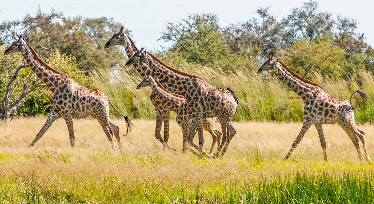 7 slide giraffes canter across the plain africa safari pano
