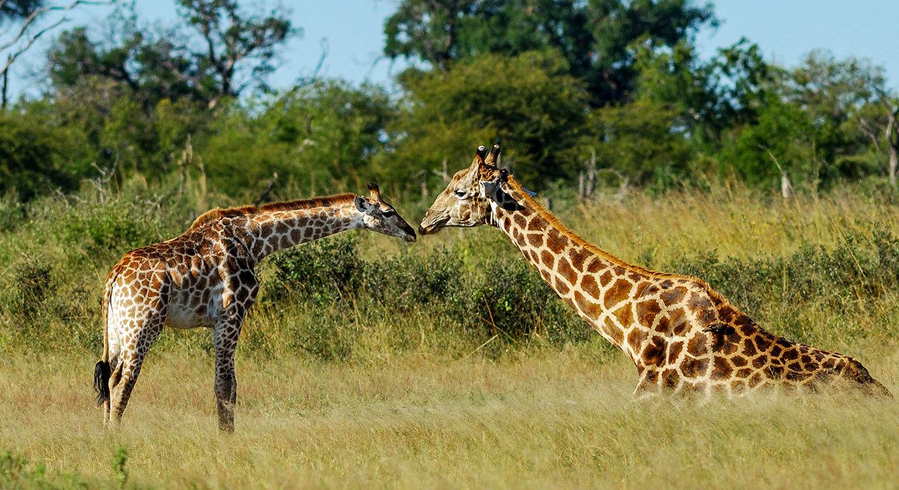 zimbabwe africa safari hwange giraffes