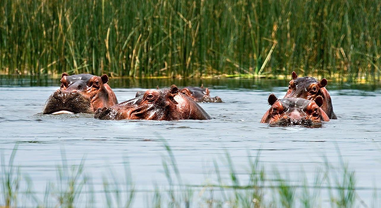 ethiopia hippopotamus swimming