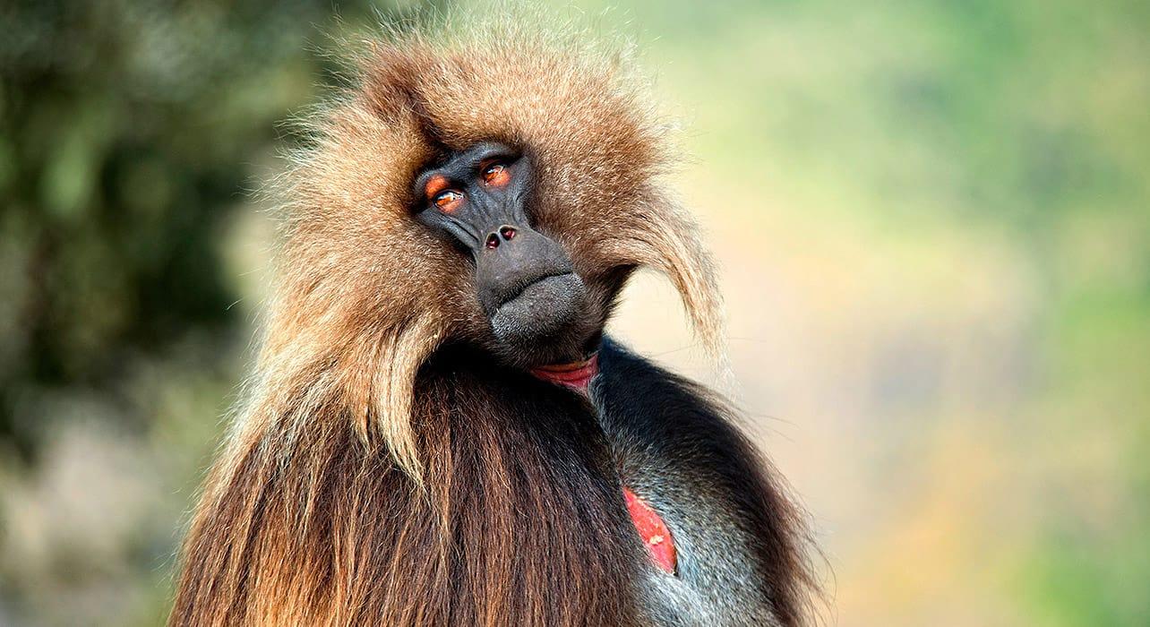 ethiopia monkey
