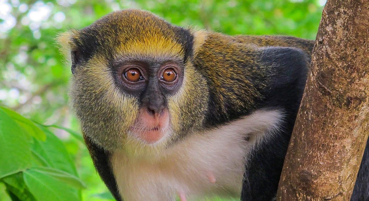 ghana togo benin monkey tree