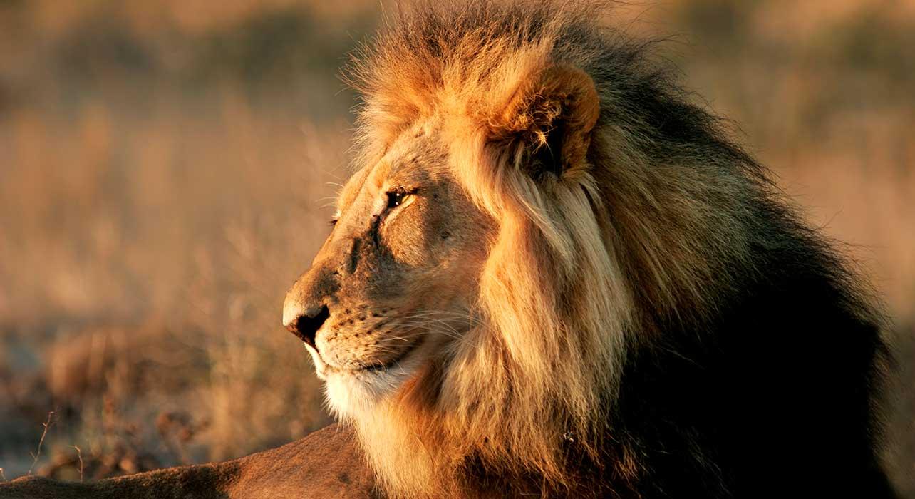 kenya male lion
