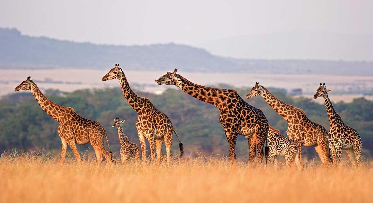 kenya giraffe herd