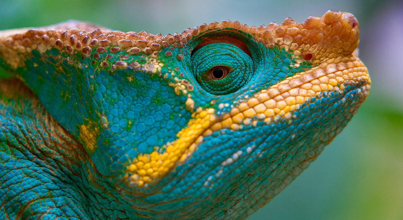 parsons chameleon madagascar