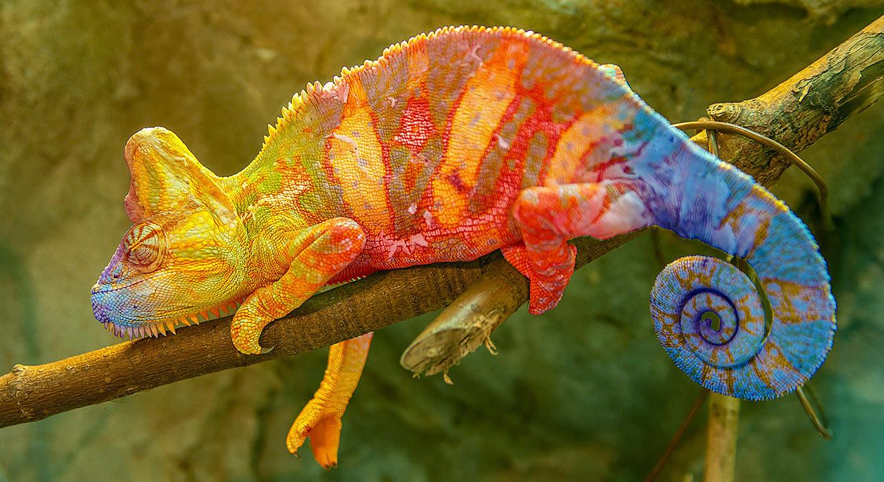 madagascar chameleon tree branch