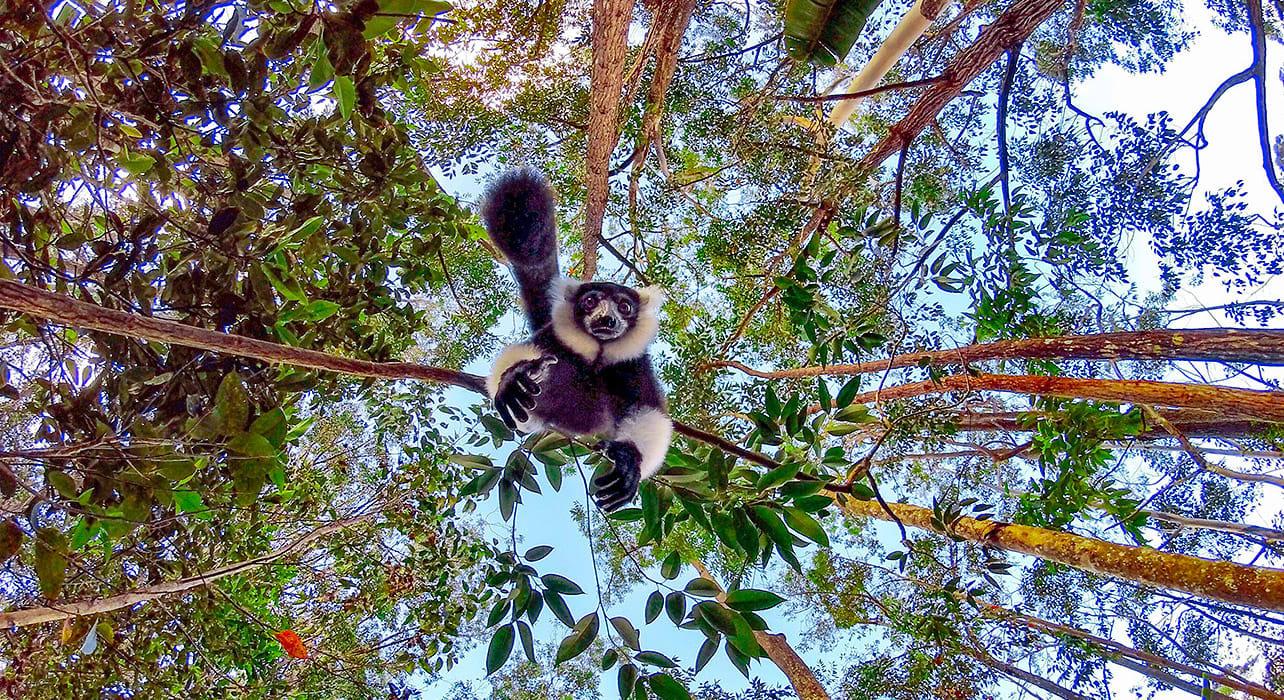 madagascar lemur falling trees