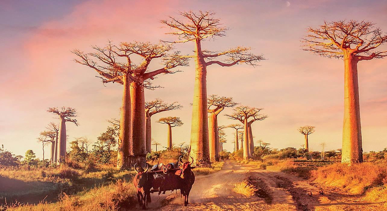 madagascar zabu cow tree