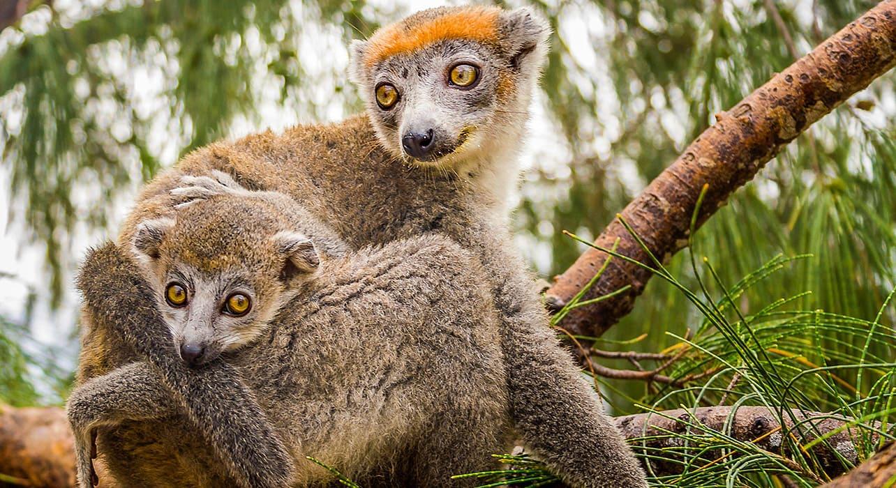 madagascar lemurs trees