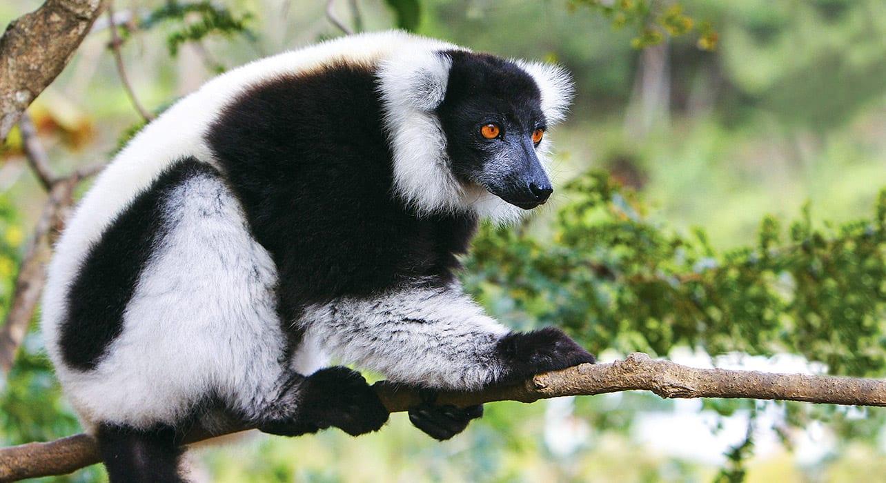 madagascar lemur nature
