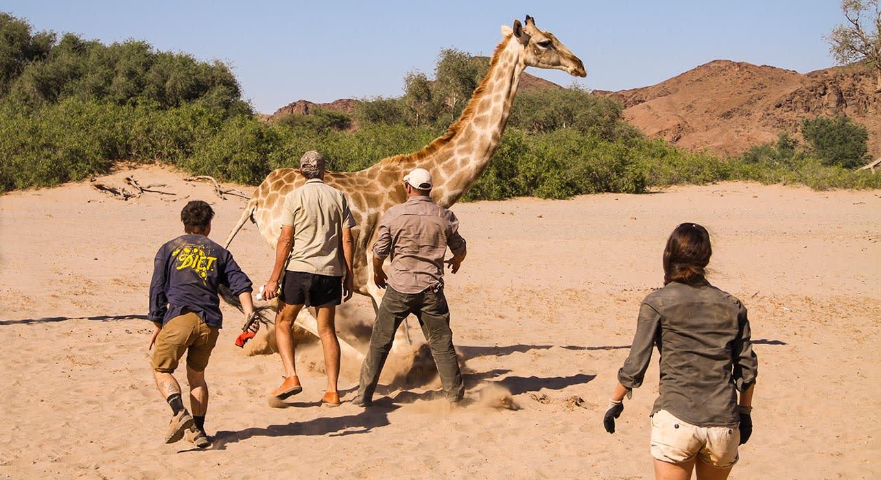 1 slide namibia giraffe release pano