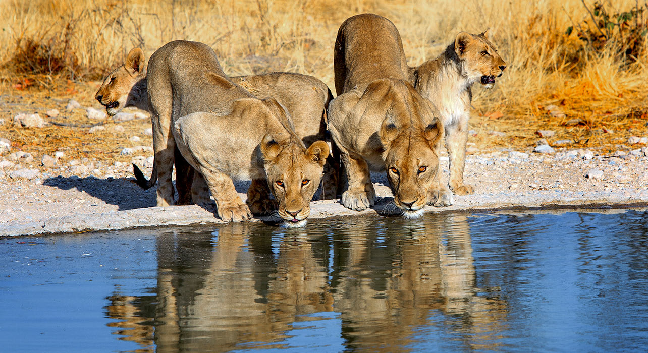 4 slide lions female two drinking africa pano